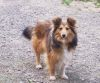 Cindy Lou vom Streitholz 1 Sheltie
