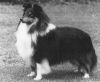 Coltured at Cashella 1 Sheltie