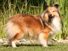 Gwyneth - Gold Fatransky sen. 1 Sheltie