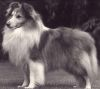Kamarlee high siciety at stevlyns 1 Sheltie