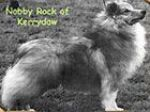 Nobby rock of Kerrydaw 1 Sheltie