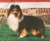 Scandyline Litte Xplosion 1 Sheltie