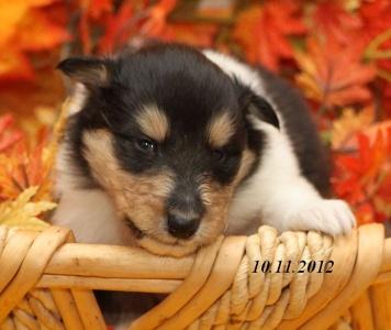 bijou von der sheltieban.de 10.11.2012 - 000