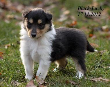 black - lucky von der sheltieban.de 17.11.2012 - 00