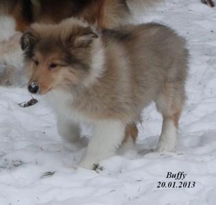 buffy von der sheltieban.de  20.01.2013 - 4