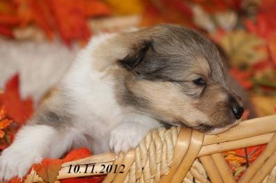 buffy von der sheltieban.de 10.11.2012 - 000000
