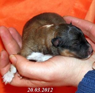 adoro von der sheltieban.de 20.03.2012 - 1