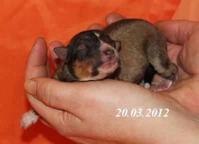 amor von der sheltieban.de 20.03.2012 - 1