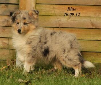 blue von der sheltieban.de 20.09.2012 - 91