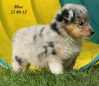 blue von der sheltieban.de 23.08.12 -6